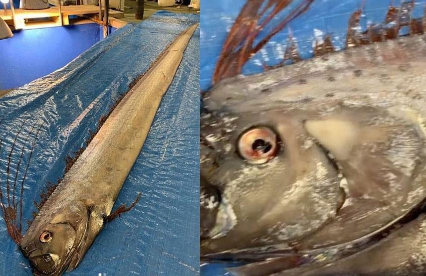 Giappone: Catturati due pesci leggendari. Si temono catastrofi.