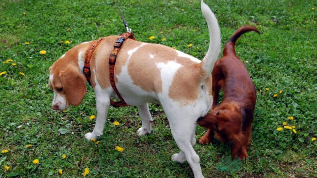 Perché ai cani piace annusare il sedere di altri cani?
